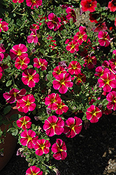 Superbells® Cherry Star Calibrachoa (Calibrachoa 'Superbells Cherry Star') at Homestead Gardens