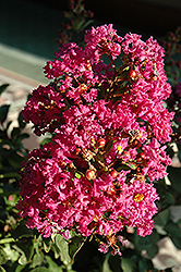 Coral Magic Crapemyrtle (Lagerstroemia 'Coral Magic') at Homestead Gardens