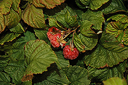 Raspberry Shortcake® Raspberry (Rubus 'NR7') at Homestead Gardens