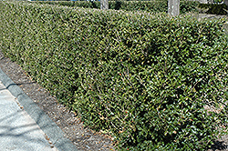 Gulftide False Holly (Osmanthus heterophyllus 'Gulftide') at Homestead Gardens