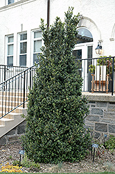 Dee Runk Boxwood (Buxus sempervirens 'Dee Runk') at Homestead Gardens