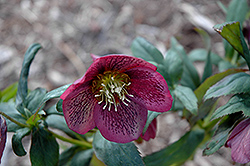 Grape Galaxy Hellebore (Helleborus 'Grape Galaxy') at Homestead Gardens