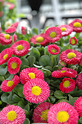 Speedstar Red English Daisy (Bellis perennis 'Speedstar Red') at Homestead Gardens