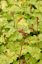 Sweet Tart Coral Bells (Heuchera 'Sweet Tart') at Homestead Gardens
