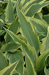 Lakeside Dragonfly Hosta (Hosta 'Lakeside Dragonfly') at Homestead Gardens