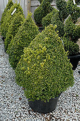 Green Mountain Boxwood (pyramid form) (Buxus 'Green Mountain (pyramid)') at Homestead Gardens