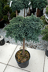 Blue Star Juniper (Juniperus squamata 'Blue Star (tree form)') at Homestead Gardens