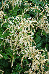 Misty Lace Goatsbeard (Aruncus 'Misty Lace') at Homestead Gardens