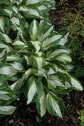 Vulcan Hosta (Hosta 'Vulcan') at Homestead Gardens