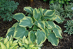 Earth Angel Hosta (Hosta 'Earth Angel') at Homestead Gardens