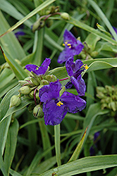Zwanenburg Blue Spiderwort (Tradescantia x andersoniana 'Zwanenburg Blue') at Homestead Gardens