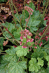 Berry Timeless Coral Bells (Heuchera 'Berry Timeless') at Homestead Gardens