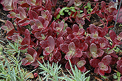 Firecracker Stonecrop (Sedum 'Firecracker') at Homestead Gardens