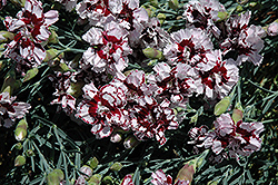 Coconut Punch Pinks (Dianthus 'Coconut Punch') at Homestead Gardens
