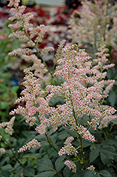 Hip Hop Astilbe (Astilbe 'Hip Hop') at Homestead Gardens