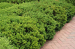 Berryhill Yew (Taxus x media 'Berryhill') at Homestead Gardens