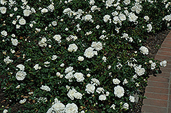 White Meidiland® Rose (Rosa 'Meicoublan') at Homestead Gardens
