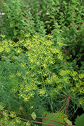 Dill (Anethum graveolens) at Homestead Gardens
