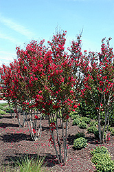 Red Rocket Crapemyrtle (Lagerstroemia indica 'Whit IV') at Homestead Gardens