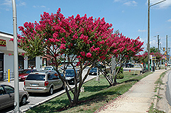 Tuskegee Crapemyrtle (Lagerstroemia 'Tuskegee') at Homestead Gardens
