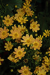 Sweet Marmalade Tickseed (Coreopsis verticillata 'Sweet Marmalade') at Homestead Gardens