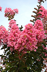 Sioux Crapemyrtle (Lagerstroemia 'Sioux') at Homestead Gardens