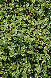 Spreading Willowleaf Cotoneaster (Cotoneaster salicifolius 'Repens') at Homestead Gardens