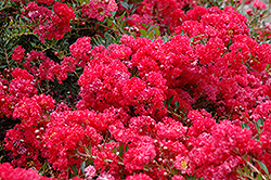Cherry Dazzle Crapemyrtle (Lagerstroemia indica 'Gamad 1') at Homestead Gardens