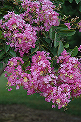 Lipan Crapemyrtle (Lagerstroemia 'Lipan') at Homestead Gardens