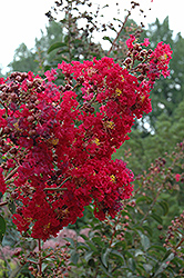 Arapaho Crapemyrtle (Lagerstroemia 'Arapaho') at Homestead Gardens