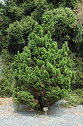 Spiralis Falsecypress (Chamaecyparis obtusa 'Spiralis') at Homestead Gardens