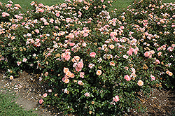 Apricot Drift® Rose (Rosa 'Meimirrote') at Homestead Gardens