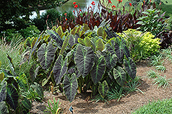 Illustris Elephant Ear (Colocasia esculenta 'Illustris') at Homestead Gardens