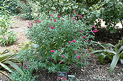 Miss Ruby Butterfly Bush (Buddleia davidii 'Miss Ruby') at Homestead Gardens