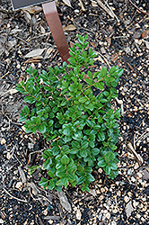 Little Missy Boxwood (Buxus microphylla 'Little Missy') at Homestead Gardens