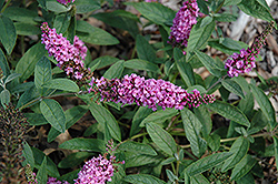 Lo And Behold® Pink Micro Chip Dwarf Butterfly Bush (Buddleia 'Lo And Behold Pink Micro Chip') at Homestead Gardens