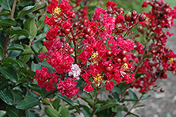 Red Rooster Crapemyrtle (Lagerstroemia indica 'PIILAG III') at Homestead Gardens