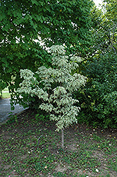 Samaritan Chinese Dogwood (Cornus kousa 'Samaritan') at Homestead Gardens
