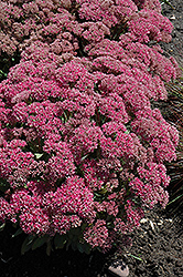 Mr. Goodbud Stonecrop (Sedum 'Mr. Goodbud') at Homestead Gardens