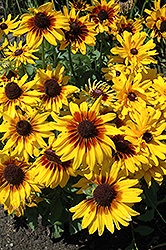 Denver Daisy Coneflower (Rudbeckia hirta 'Denver Daisy') at Homestead Gardens