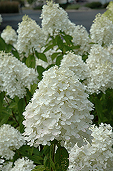 Sweet Summer Hydrangea (Hydrangea paniculata 'Sweet Summer') at Homestead Gardens