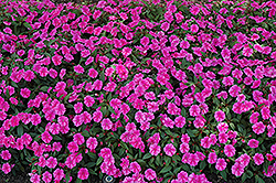 Bounce™ Pink Flame Impatiens (Impatiens 'Balboufink') at Homestead Gardens