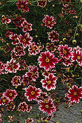 Ruby Frost Tickseed (Coreopsis 'Ruby Frost') at Homestead Gardens