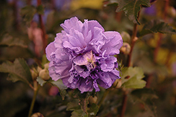 Blueberry Smoothie™ Rose of Sharon (Hibiscus syriacus 'DS01BS') at Homestead Gardens