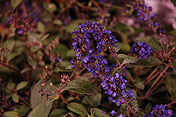 Lo And Behold® Blue Chip Junior Dwarf Butterfly Bush (Buddleia 'Lo And Behold Blue Chip Junior') at Homestead Gardens