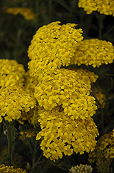 Desert Eve™ Yellow Yarrow (Achillea millefolium 'Desert Eve Yellow') at Homestead Gardens