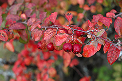 European Cotoneaster (Cotoneaster integerrimus) at Homestead Gardens