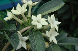 Madagascar Jasmine (Stephanotis floribunda) at Homestead Gardens