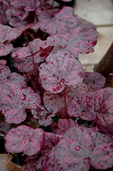 Grape Expectations Coral Bells (Heuchera 'Grape Expectations') at Homestead Gardens