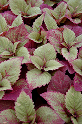 ColorBlaze® Royal Glissade® Coleus (Solenostemon scutellarioides 'Royal Glissade') at Homestead Gardens